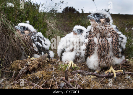 Peregrine chicks (Falco peregrinus), after being ringed, Northumberland National Park, England, United Kingdom, - Stock Photo