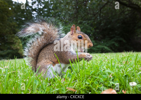 Grey squirrel (Sciurus carolinensis), in city park, Brandon Park, Bristol, England, United Kingdom, Europe - Stock Photo