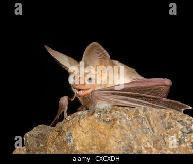 Pallid bat (Antrozous pallidus) in captivity, Hidalgo County, New Mexico, United States of America, North America - Stock Photo