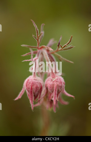Prairie smoke (purple aven) (old man's whiskers) (long-plumed avens) (Geum triflorum), Yellowstone National Park, - Stock Photo