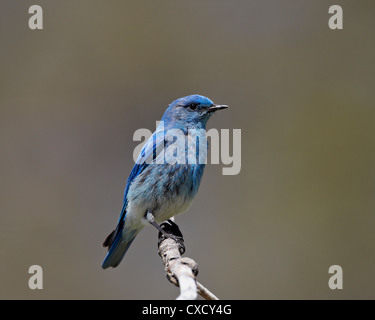 Male mountain bluebird (Sialia currucoides), Yellowstone National Park, Wyoming, United States of America, North - Stock Photo
