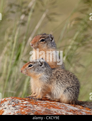Two young Columbian ground squirrel (Citellus columbianus), Waterton Lakes National Park, Alberta, Canada, North - Stock Photo