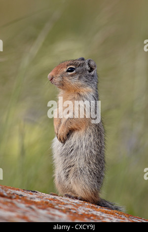 Young Columbian ground squirrel (Citellus columbianus), Waterton Lakes National Park, Alberta, Canada, North America - Stock Photo