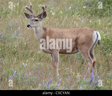Mule deer (Odocoileus hemionus) buck in the summer, Waterton Lakes National Park, Alberta, Canada, North America - Stock Photo