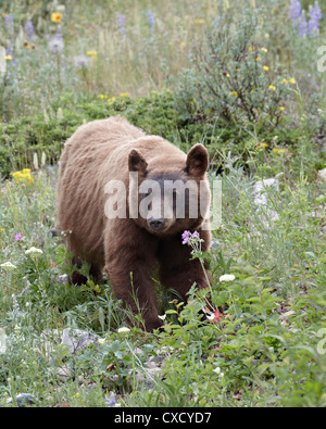 Cinnamon black bear (Ursus americanus) cub, Waterton Lakes National Park, Alberta, Canada, North America - Stock Photo