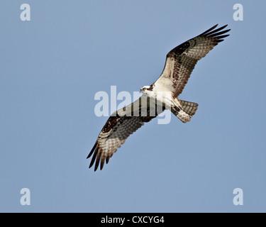 Osprey (Pandion haliaetus) in flight, Lemhi County, Idaho, United States of America, North America - Stock Photo