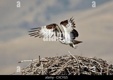 Osprey (Pandion haliaetus) taking off from its nest, Lemhi County, Idaho, United States of America, North America - Stock Photo