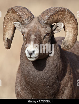 Bighorn sheep (Ovis canadensis) ram, Clear Creek County, Colorado, United States of America, North America - Stock Photo