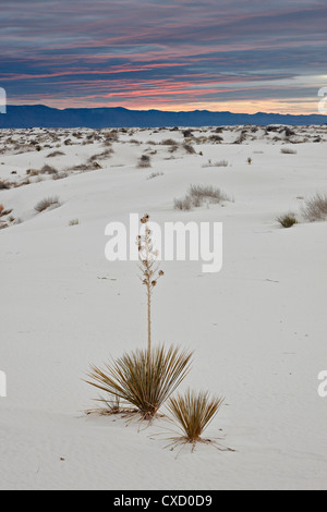 Yucca on the dunes at sunrise, White Sands National Monument, New Mexico, United States of America, North America Stock Photo