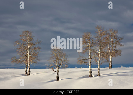 Aspen trees on a snow-covered hillside, San Miguel County, Colorado, United States of America, North America - Stock Photo