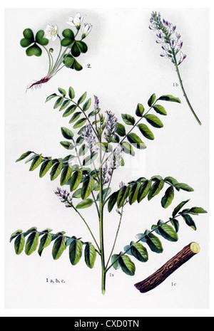 Glycyrrhiza glabra - Stock Photo