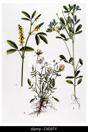 Melilotus officinalis - Stock Photo