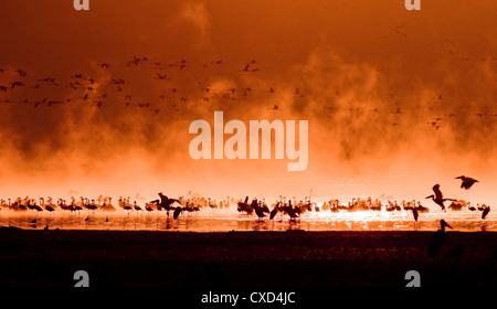 flocks of flamingos in the sunrise - Stock Photo