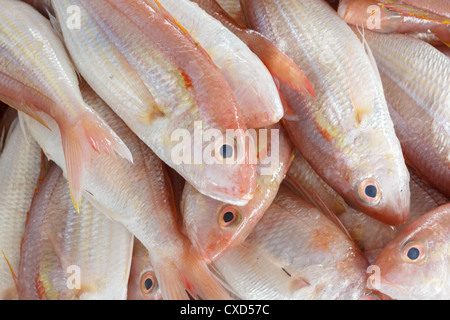 Close up of Fresh Red Snapper - Stock Photo