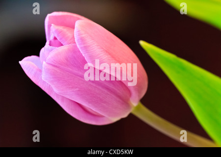 Beautiful tulip spring flower - Stock Photo