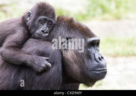 Close-up of mother western lowland gorilla (Gorilla gorilla) carnying baby on her back, Netherlands - Stock Photo
