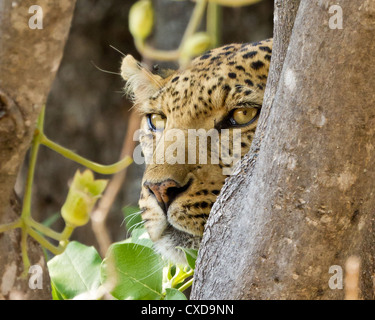 Close-up of a leopard ( panthera pardus) watching for prey from a tree, Khwai, Botswana - Stock Photo