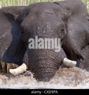 African elephant (loxodonta africana) showing threat behaviour when disturbed while bathing in Botswana's Okavango - Stock Photo