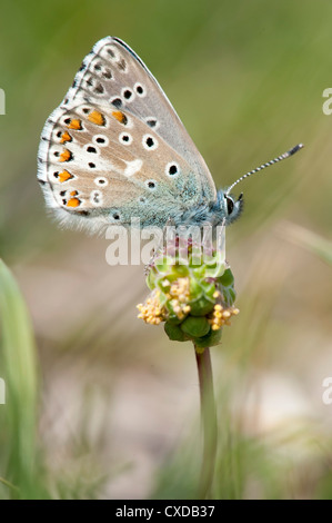 Adonis Blue Butterfly, Lysandra bellargus, Lydden Temple Ewell, Kent - Stock Photo