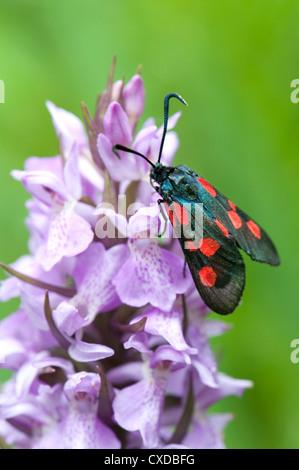 Six-Spot Burnet Moth, Zygaena filipendulae, Sandwich Bay, Kent, UK