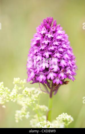 Pyramidal Orchid, Anacamptis pyramidalis, Sandwich Bay, Kent UK - Stock Photo