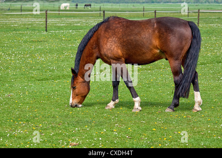 Brown horse on pasture - Stock Photo