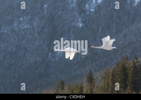 Swans fly through over Lac des Arcs in the Bow Valley in the Canadian Rocky Mountains near Banff, Alberta. - Stock Photo