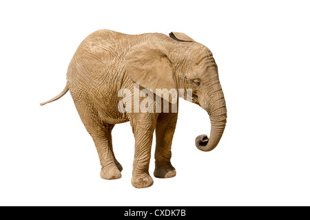 Elephant isolated on white background - Stock Photo