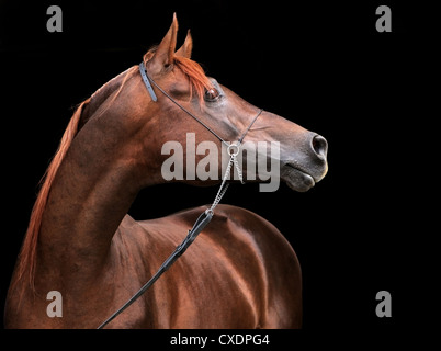 Profile portrait of a splendid purebred Arabian stallion. The brown horse stands in front of a black background - Stock Photo
