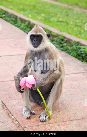 Tufted gray langur eating lotus flower (semnopithecus priam),  Anuradhapura, Sri Lanka - Stock Photo