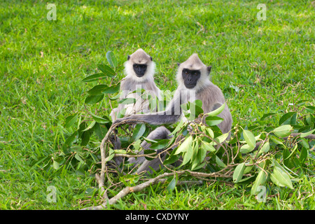Tufted gray langurs (semnopithecus priam), Anuradhapura, Sri Lanka - Stock Photo