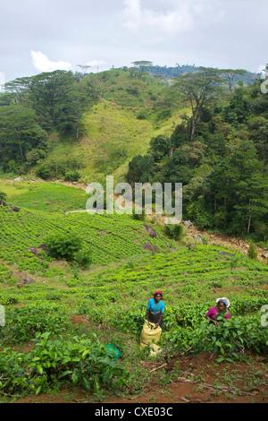 Female Tamil tea pickers, tea plantation near Nuwara Eliya, Sri Lanka, Asia - Stock Photo