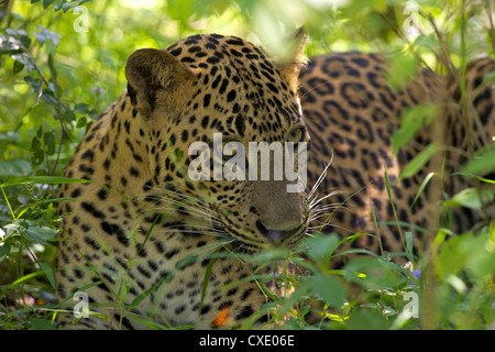 Leopard (panthera pardus) resting in thick undergrowth, Yala National Park, Sri Lanka, Asia - Stock Photo