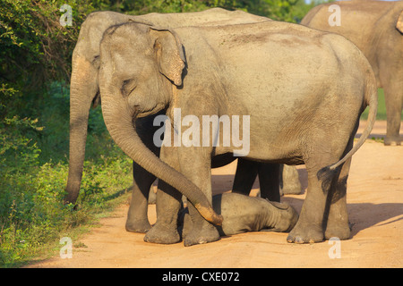 Wild female asian elephants with baby elephant, Yala National Park, Sri Lanka, Asia - Stock Photo