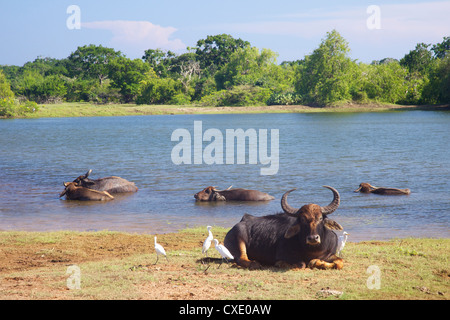 Domestic Asian water buffalo (bubalus bubalis) and egrets, Yala National Park, Sri Lanka, Asia - Stock Photo