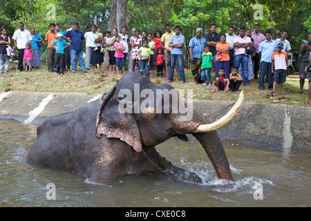 Captive Asiatic elephant (Elephas maximus maximus) in Colombo prior to the Perahera, Victoria Park, Colombo, Sri - Stock Photo
