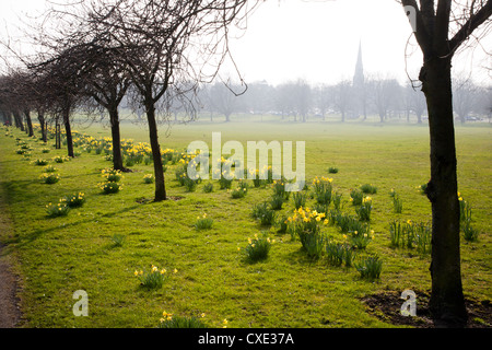 Daffodils on The Stray, Harrogate, North Yorkshire, England - Stock Photo