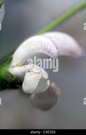 Salvia argentea White flowers flower Silver Sage Argentea Lamiaceae Medicinal plant closeup close up - Stock Photo