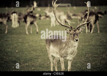 Stag with herd of deer in Phoenix Park, Dublin, Republic of Ireland, Europe - Stock Photo