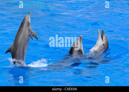 Three bottlenose dolphins (Tursiops truncatus) in blue water  including one standing on the tail - Stock Photo