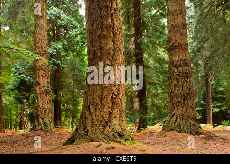 Interior of Pine Forest, New Forest, Hampshire, England, UK - Stock Photo