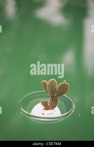 Cactus (Opuntia dicrodasys) in bowl, floating on water - Stock Photo