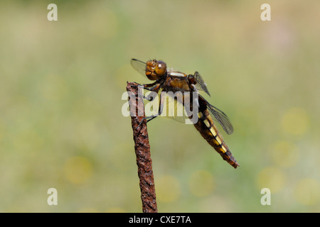 Broad-bodied chaser dragonfly (Libellula depressa) female, hunting from rusted metal fence post, Lesbos, Greece - Stock Photo