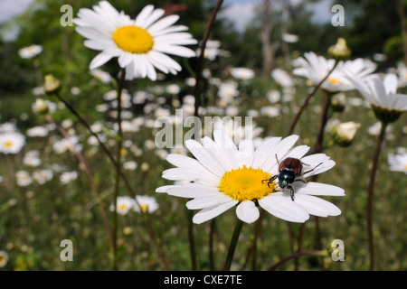 Garden chafer (Phyllopertha horticola) on Ox eye or Marguerite daisy (Leucanthemum vulgare) in meadow, Wiltshire, - Stock Photo