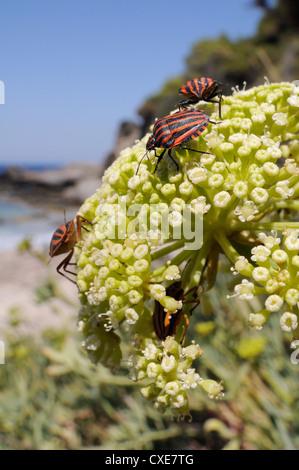 Italian striped stink bugs (Graphosoma lineatum italicum) on rock samphire (Crithmum maritimum), Samos, Greece - Stock Photo