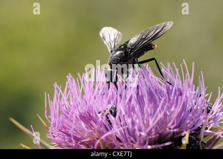 Nectar feeding Horse fly (Pangonius funebris) on Milk thistle (Carduus marianus), Lesbos, Greece - Stock Photo
