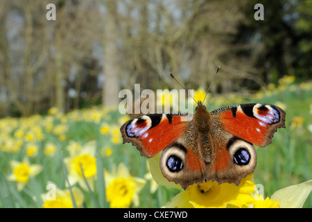 Peacock butterfly (Inachis io) on Wild daffodil (Narcissus pseudonarcissus), Wiltshire, England - Stock Photo