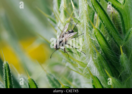 Parasite fly or Tachinid fly (Prosena siberita) with long proboscis, Wiltshire, England - Stock Photo