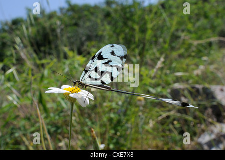 Thread winged lacewing or Spoonwing lacewing (Nemoptera sinuata) feeding on Ox eye daisy (Leucanthemum vulgare), - Stock Photo