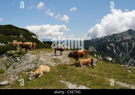 Small herd of Cows (Bos taurus) on alpine pastureland in the Julian Alps, Triglav National Park, slovenia, slovenianan - Stock Photo